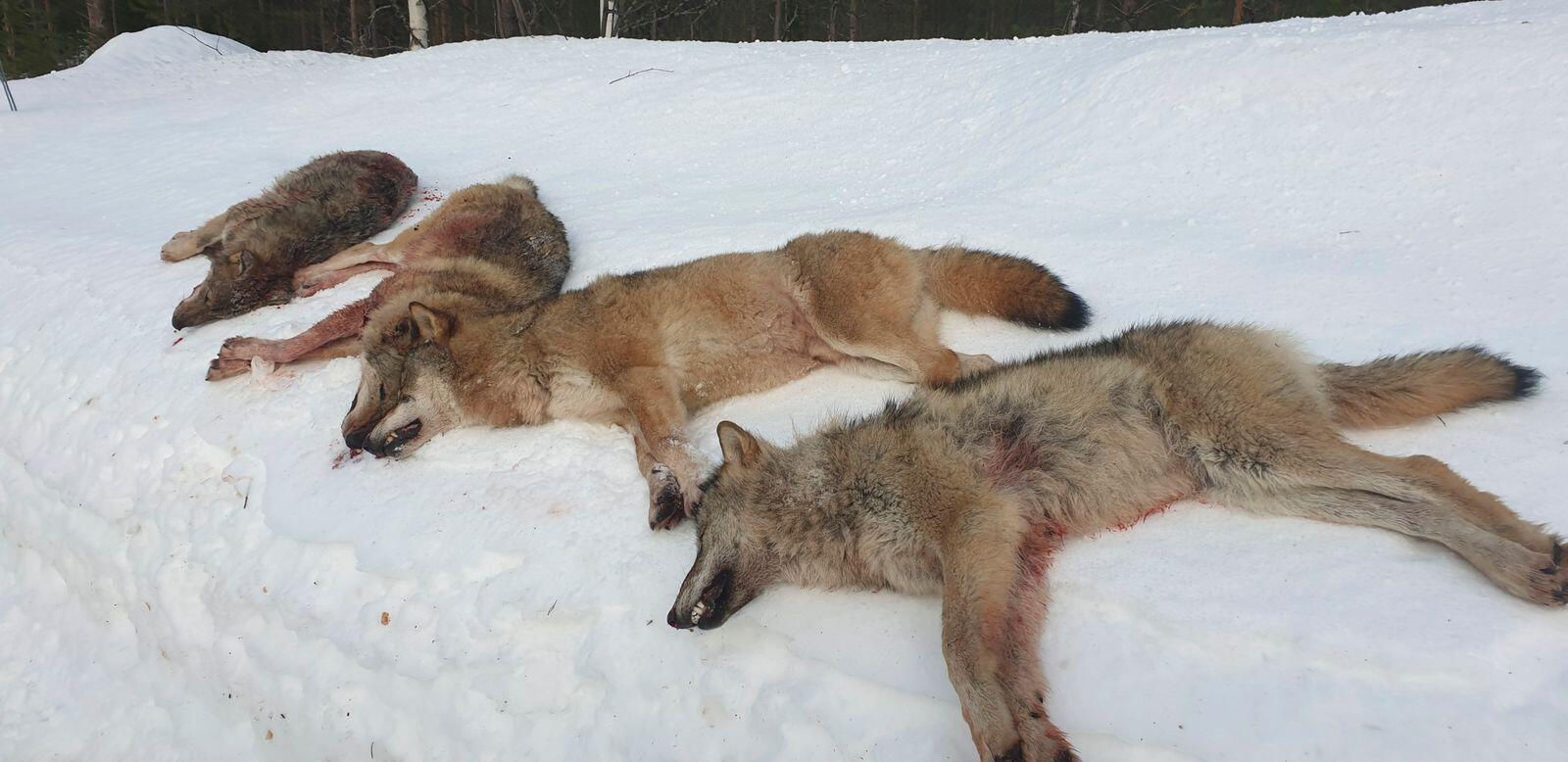 Tidligere i år ga Oslo tingrett Noah medhold i saken organisasjonen anla mot staten etter vedtaket om lisensfelling av alle ulvene i Letjenna-reviret i Elverum. Nå har staten anket dommen. Foto: Statens naturoppsyn/NTB scanpix
