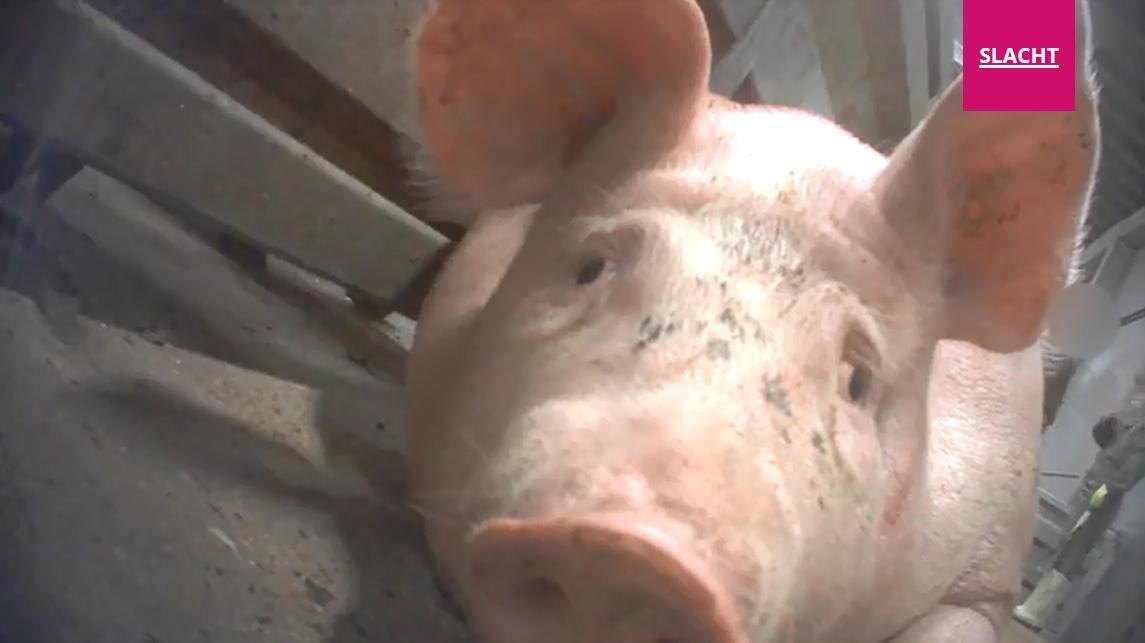Skåldet: På denne videoen blir gris slått, sparket og dratt etter ørene. En gris blir skåldet levende. Bondebladet advarer mot sterke scener. (Foto: Fra video av Animal Rights)