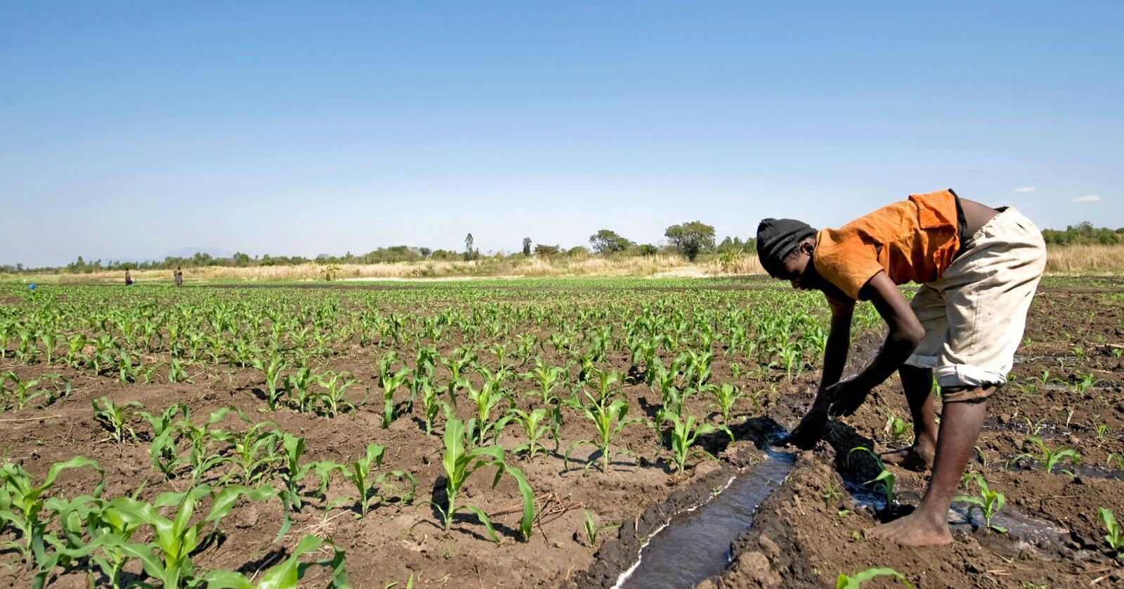 I Chinamwali i Malawi pumpes vannet opp fra Mikoko elven, og Elliot Lailo fordeler vannet jevnt utover maisåkeren. Nå kan han få hjelp av norske værdata når han planlegger driften av gården sin. Foto: Ken Opprann/Norad