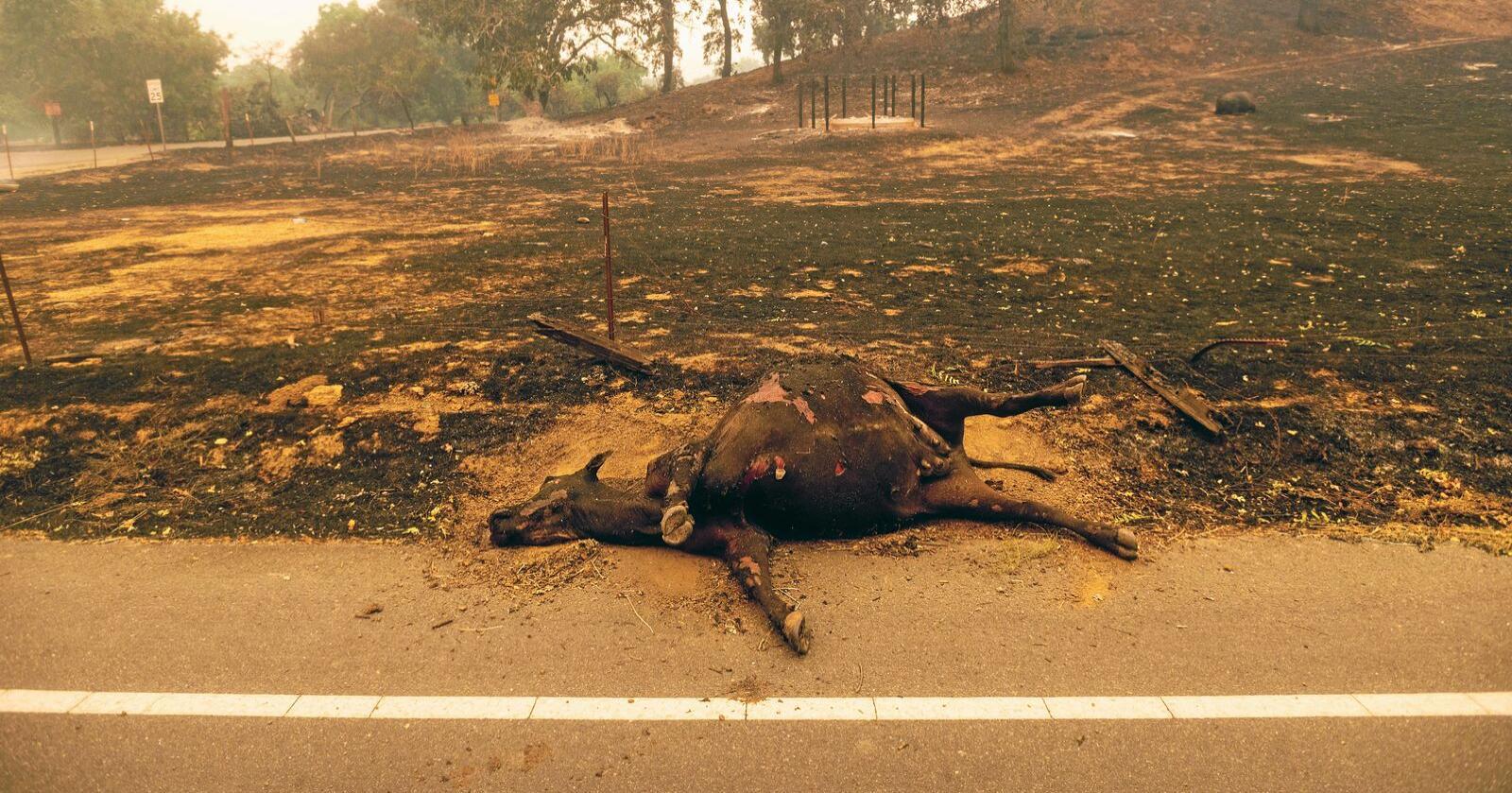 For fjerde år på rad herjer skogbrannene i California. Foto: AP/Noah Berger/NTB Scanpix