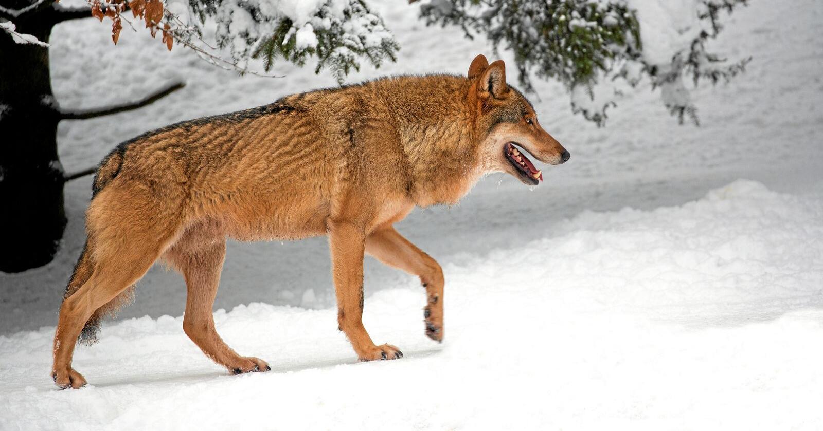 En ulv er skutt og en annen ble forsøkt skutt i Aurskog-Høland. Illustrasjonsfoto: Mostphotos