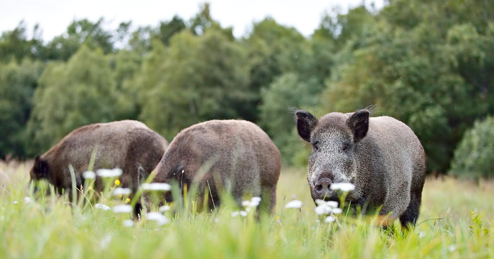 ASF: Afrikansk svinepest brer seg raskt i Tyskland. Erik Mandre / Mostphotos