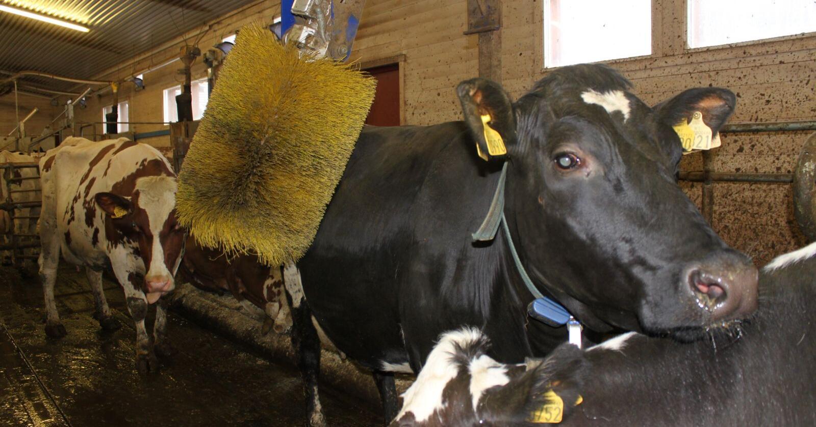 Dyrevelferdsindikatoren beregnes ut fra data fra kukontrollen. Derfor medfører det ikke noe merarbeid for melkeprodusentene. Foto: Dag Idar Jøsang