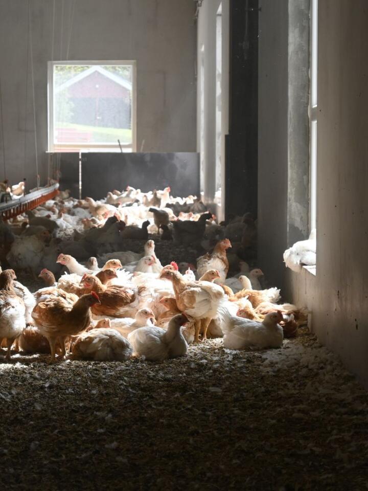 VINDUSKARMEN: Kyllingene flokker seg foran vinduet. – Det er tydelig at de liker seg i varmen fra sola, sier Anne Cathrine Blakstad.