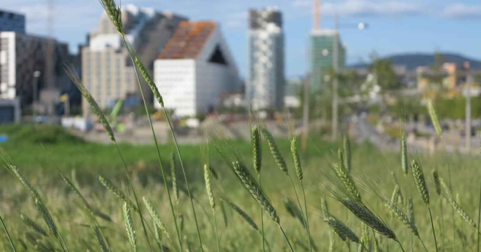 Totalt i Norge er det 5 prosent av gårdbrukerne som driver økologisk. Her sees økologisk matproduksjon i Bjørvika i Oslo. Foto: Bjørvika Utvikling/Vibeke Hermanrud