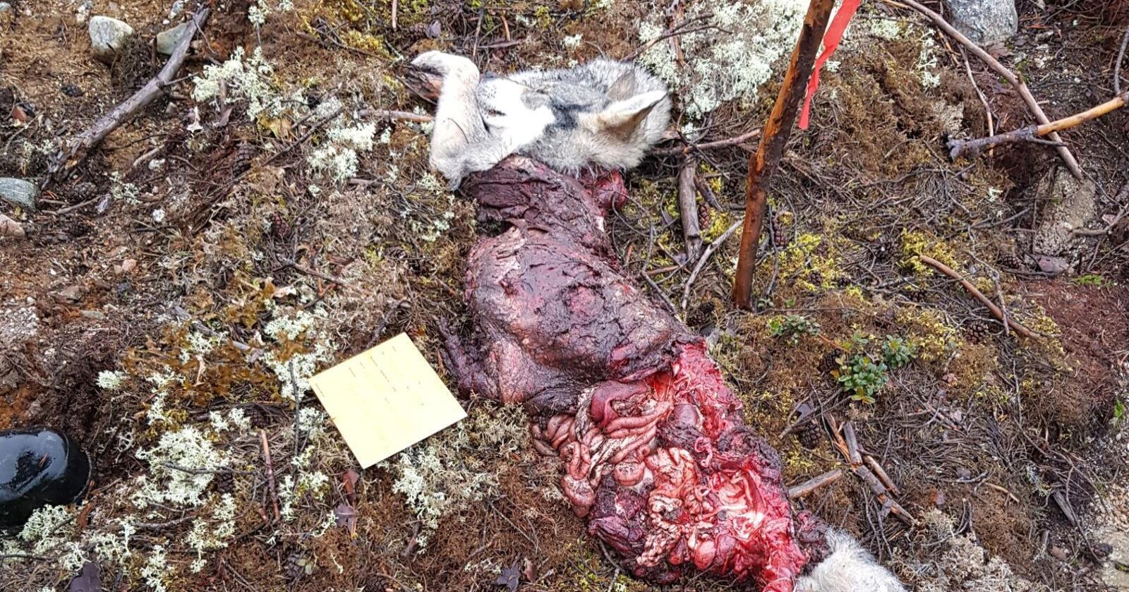 I forbindelse med elgjakta ble en tre år gammel jakthund drept i skogene utenfor Homna i Hälsingland i Sverige. Foto: Länsstyrelsen