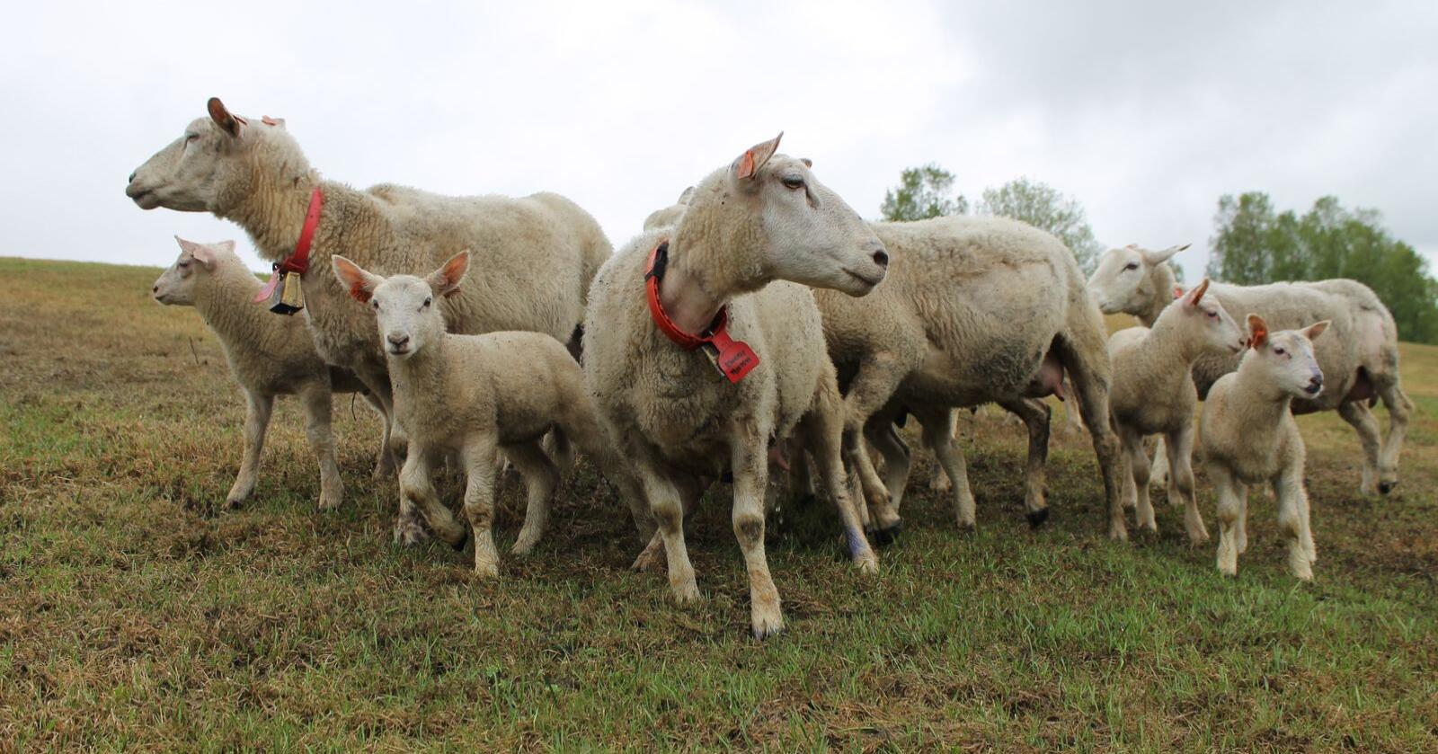 I 2019 var det færre tilfeller av alvorlig vanskjøtsel i norske husdyrhold. Fokus på psykisk helse og økt innsats for å avvikle kronisk dårlige dyrehold, kan ha bidratt til den positive utviklinga. Arkivfoto: Norsk Landbruk