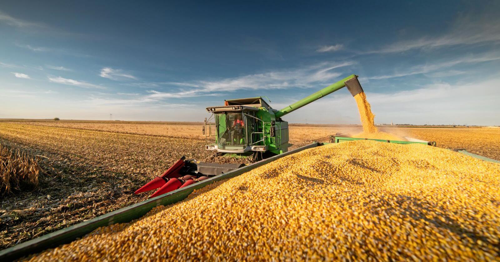 Når rike Norge kjøper korn på verdensmarkedet i en krisesituasjon, blir det mindre og dyrere korn igjen til fattigere land, skriver Une Aina Bastholm. Foto: Mostphotos