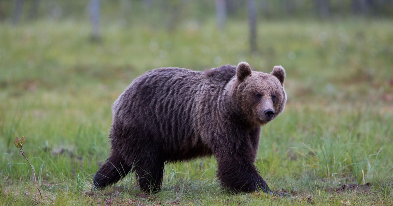 Rovdyr og beitedyr: Beitelagene får ikke beskjed når det er rovdyr på vei inn i beiteprioritert område selv ikke når rovdyrene er radiomerket. Illustrasjonsfoto: Mostphotos