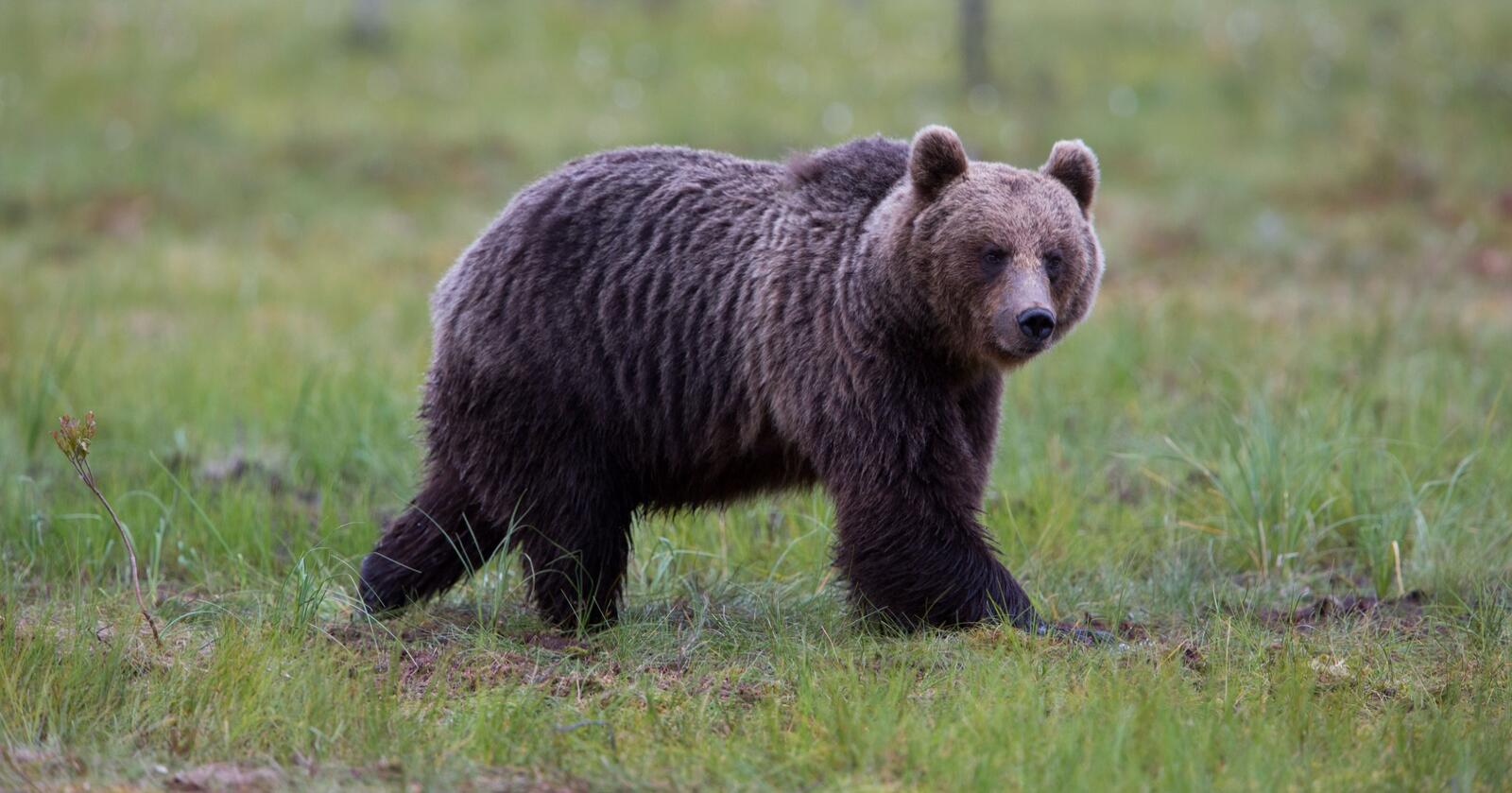 Bjørn rovdyr