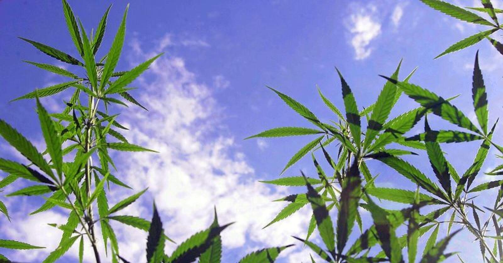 Fpu-lederen mener cannabis er mindre farlig enn alkohol. Sylvi Listhaug er uenig. Foto: PHOTOPQR/LA DEPECHE DU MIDI