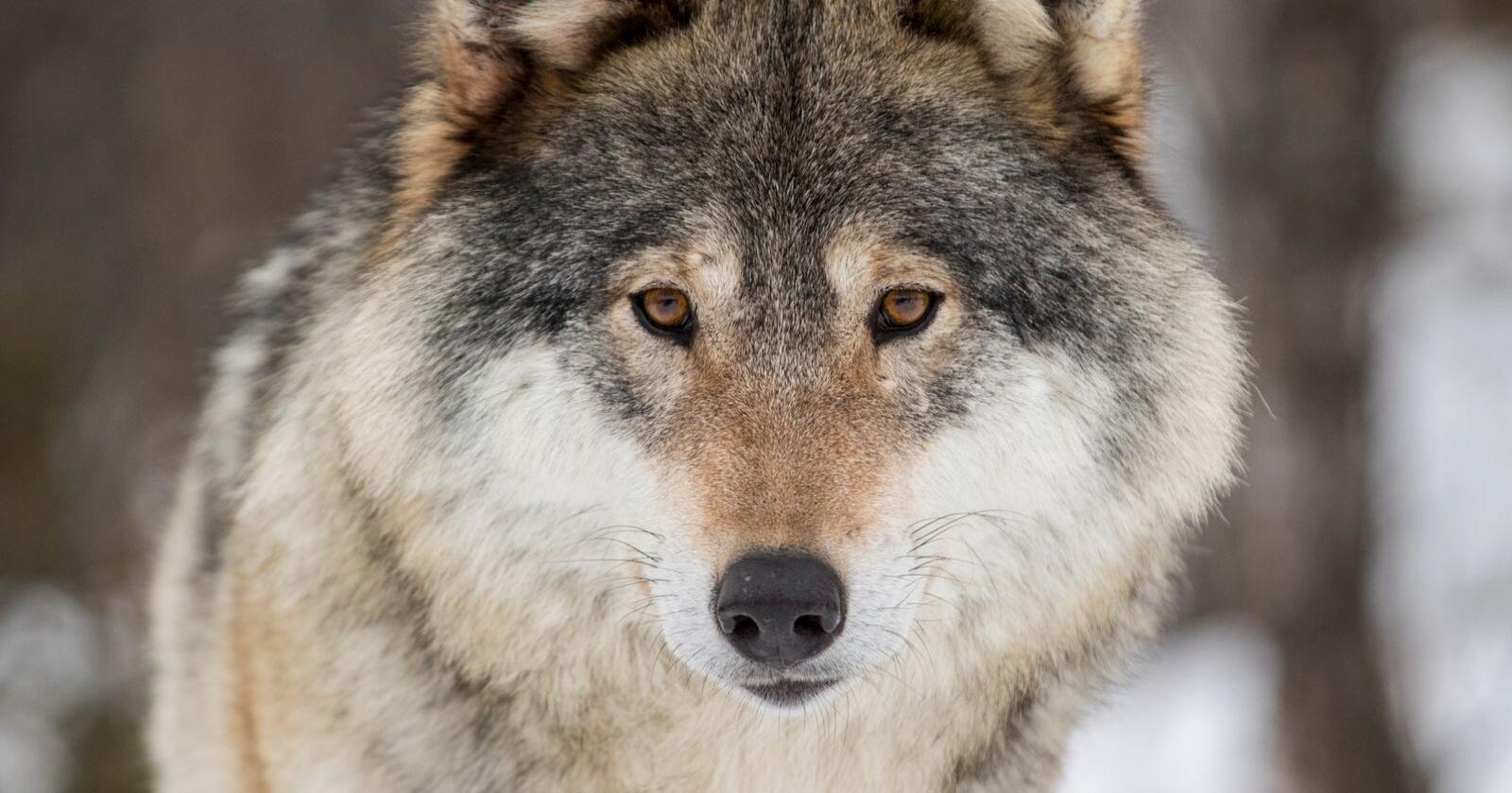 Fylkesmannen i Agder har gitt skadefellingstillatelse på en ulv fram til 8. juli. Illustrasjonsfoto: Heiko Junge / NTB scanpix