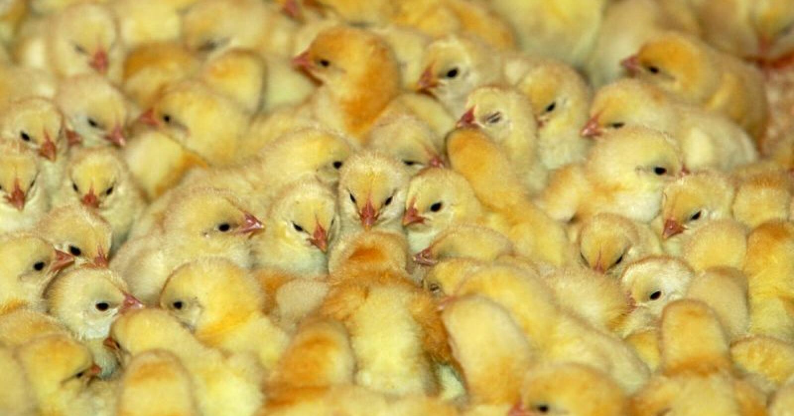 Grønn Ungdom mener at kun ikke-industrielt og økologisk kyllinghold med svært små besetninger og høye velferdskrav bør tillates. Illustrasjonsfoto: Berit Roald / NTB scanpix
