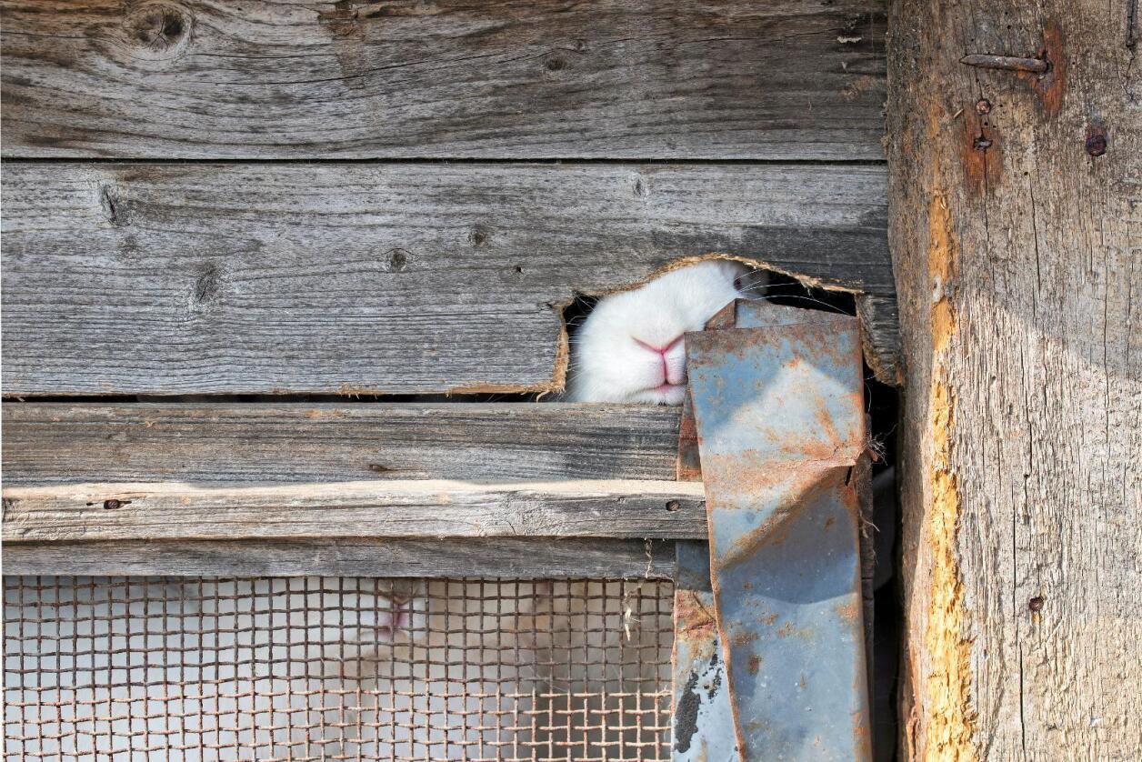 Trenger varme og plass: Kaniner er ikke laget for å sitte i iskalde bur.  Foto: Nerijus Juras / Mostphotos
