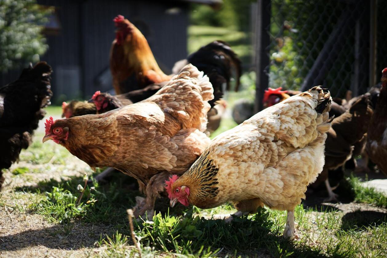 Det har i en god stund vært portforbud for tamfugl i Norge som følge av påvist høypatogen fugleinfluensa i store deler av Europa. Nå blir det lettelser, men Mattilsynet forventer at det vil komme perioder med portforbud også i framtida. Foto: Benjamin Hernes Vogl