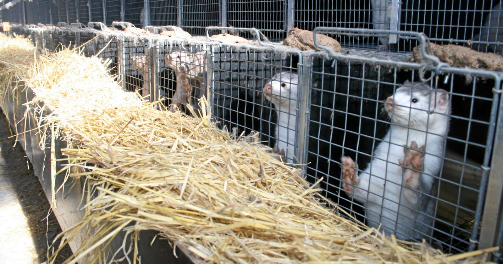 Pelsdyr: Tirsdag ble det klart at pelsdyrbøndene får kompensasjon som om det var ekspropriasjon. Foto: Bjarne Bekkeheien Aase