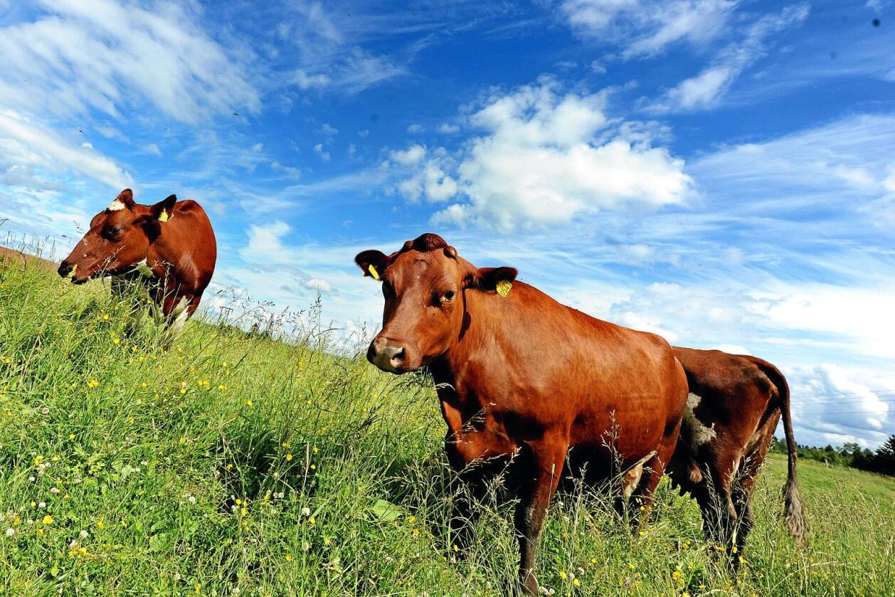 Rødt kjøtt: Dersom vi skal produsere mat basert på norske ressurser trenger vi husdyr som kan utnytte gras og beite, skriver kronikkforfatteren. Foto: Siri Juell Rasmussen