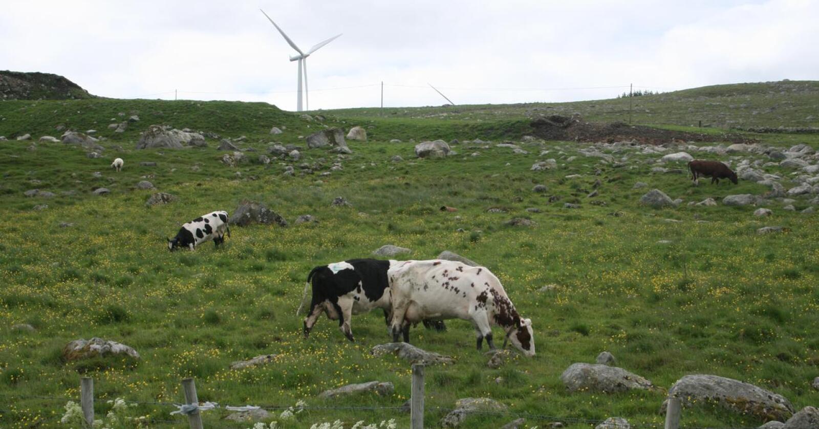 Straumsjokk: Prisen på elektrisk kraft når stadig nye rekordar i Sør-Norge. Det gir bønder nær ein halv milliard kroner i auka kostnader ifølgje Småbrukarlaget, som er skuffa over at staten ikkje vil gi kompensasjon for ekstrarekninga i tilleggsforhandlingane. Her kyr på beite ved Høg-Jæren vindkraftverk. Foto: Bjarne Bekkeheien Aase