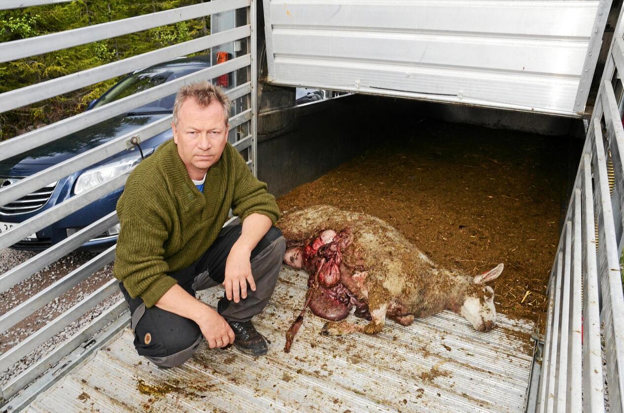 – Disse pengene handler ikke om tapte dyr, men en kompensasjon for direkte utgifter, sier Ulset. Foto: Mariann Tvete