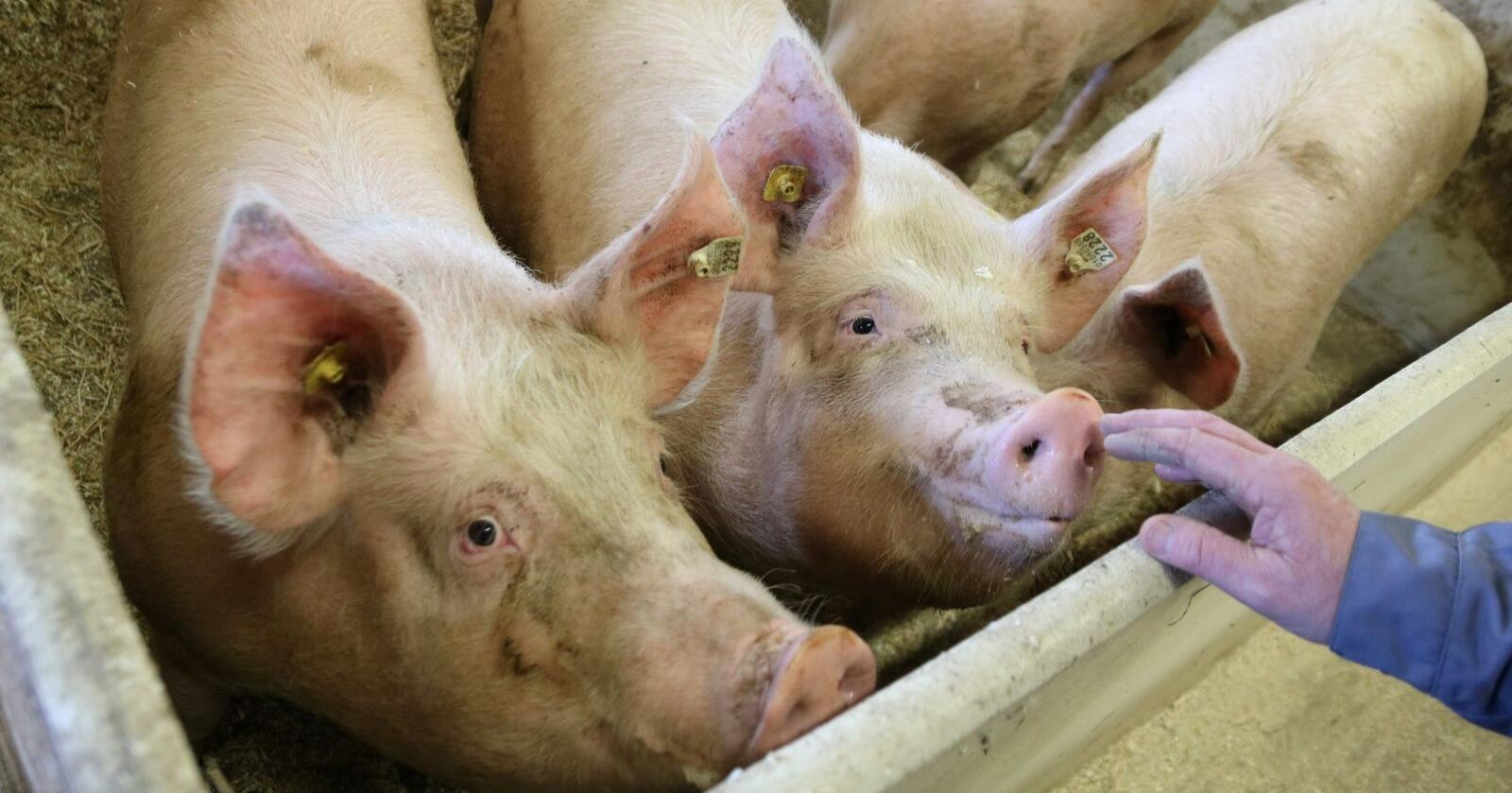 OPPGANG: Det er gode tider i europeisk svineproduksjon for tida. Illustrasjonsfoto
