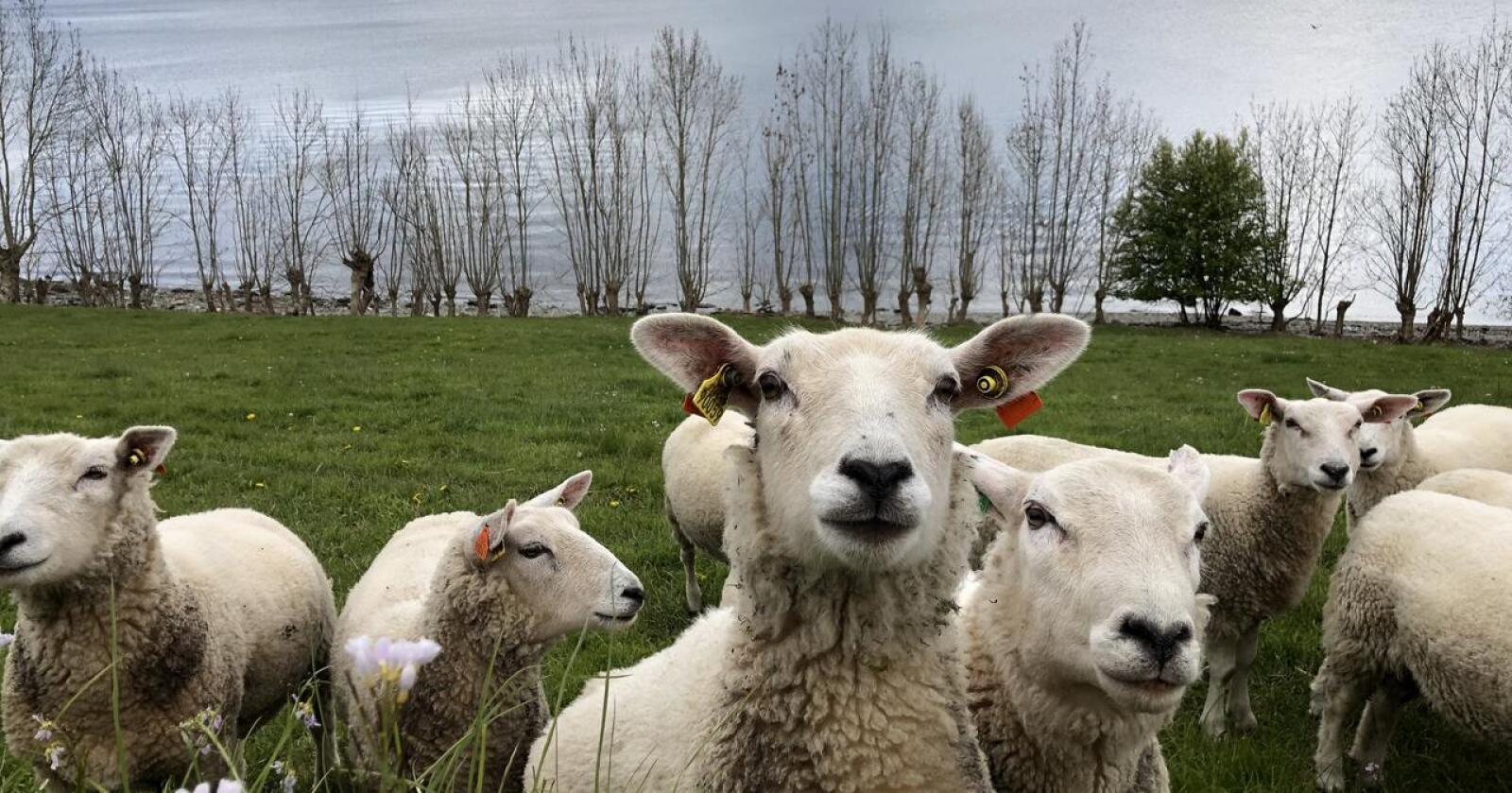Hardt pressa: Økonomien i sauenæringa er spesielt dramatisk. Ifølge referansebruket har et sauebruk på Vestlandet med 142 vinterfôra sauer ei inntekt på 191500 kroner, skriver Kjersti Hoff. (Foto: Karl Erik Berge)
