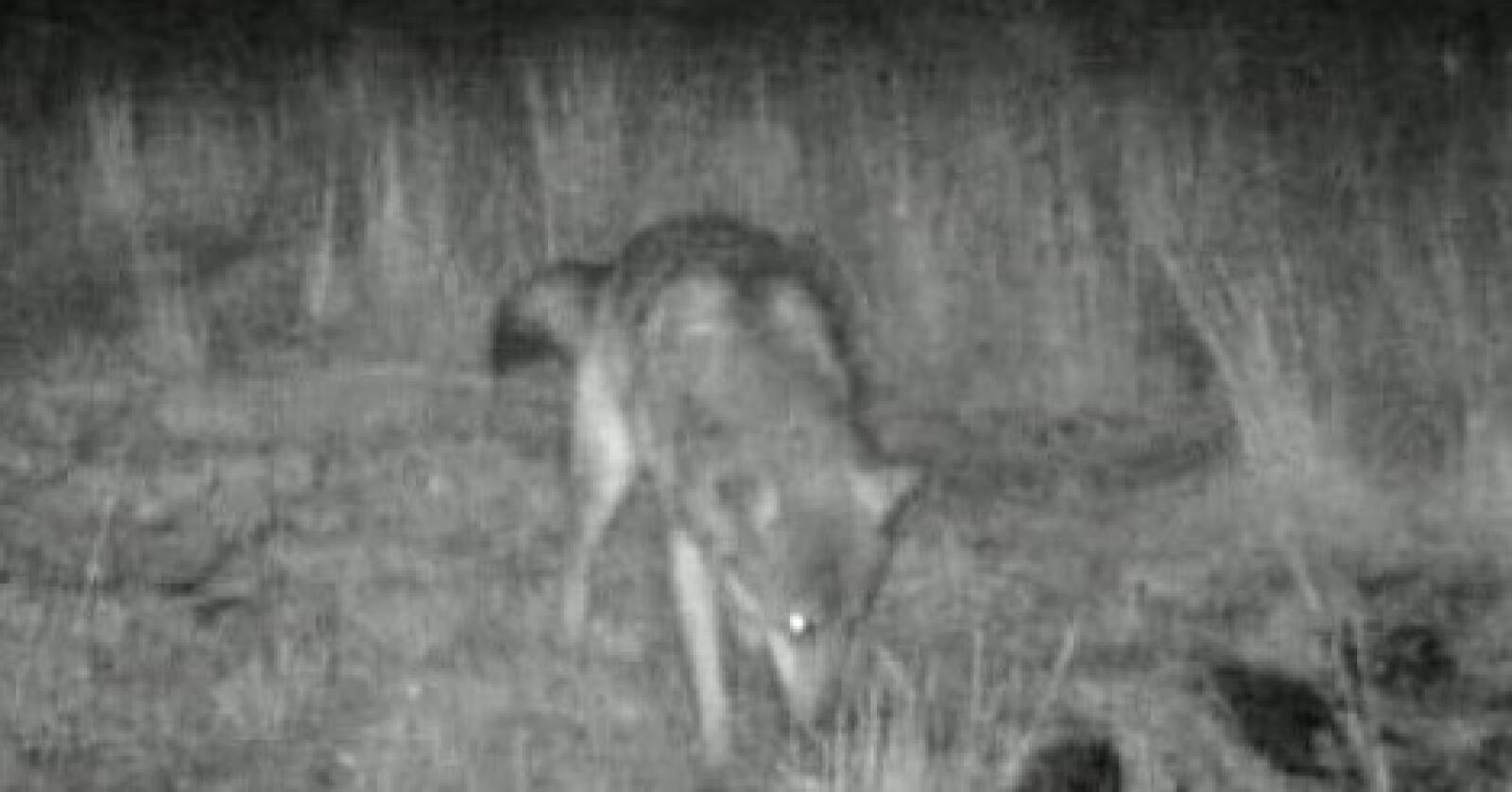 Hannulven på Vestlandet ble fanget av et av SNO sine viltkamera i september i fjor. Foto: Statens naturoppsyn/Miljødirektoratet