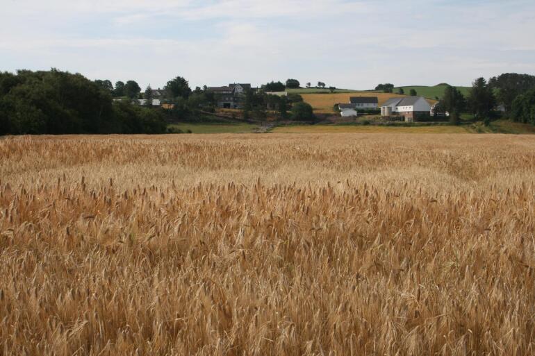 Korn: Norske Felleskjøp ventar at årets totale kornavling blir tjue prosent større enn i fjor, men nedgangen i kornarealet er større enn venta. Foto: Bjarne Bekkeheien Aase