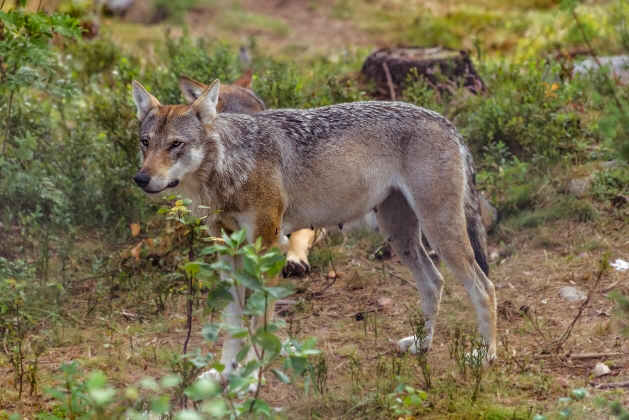 Det var i slutten av april at en svensk mann skal ha skutt en ulv som kom inn på gårdstunet til ham og familien. Illustrasjonsfoto: Mostphotos