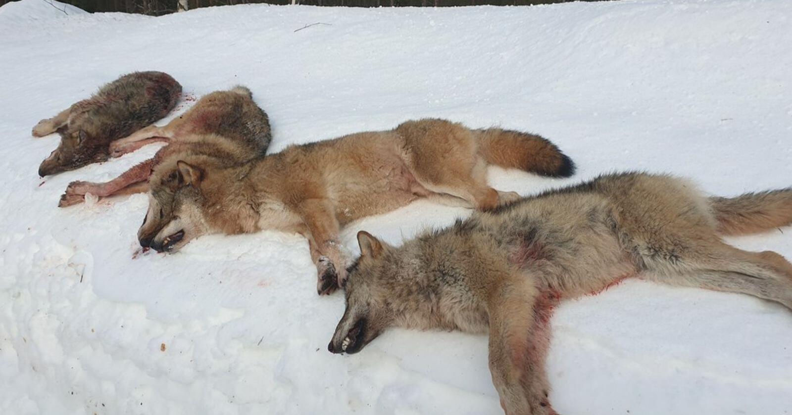Dommen i Oslo tingrett fredag gir Noah medhold i saken organisasjonen anla mot staten etter vedtaket om lisensfelling av alle ulvene i Letjenna-reviret i Elverum. Foto: Statens naturoppsyn / NTB scanpix