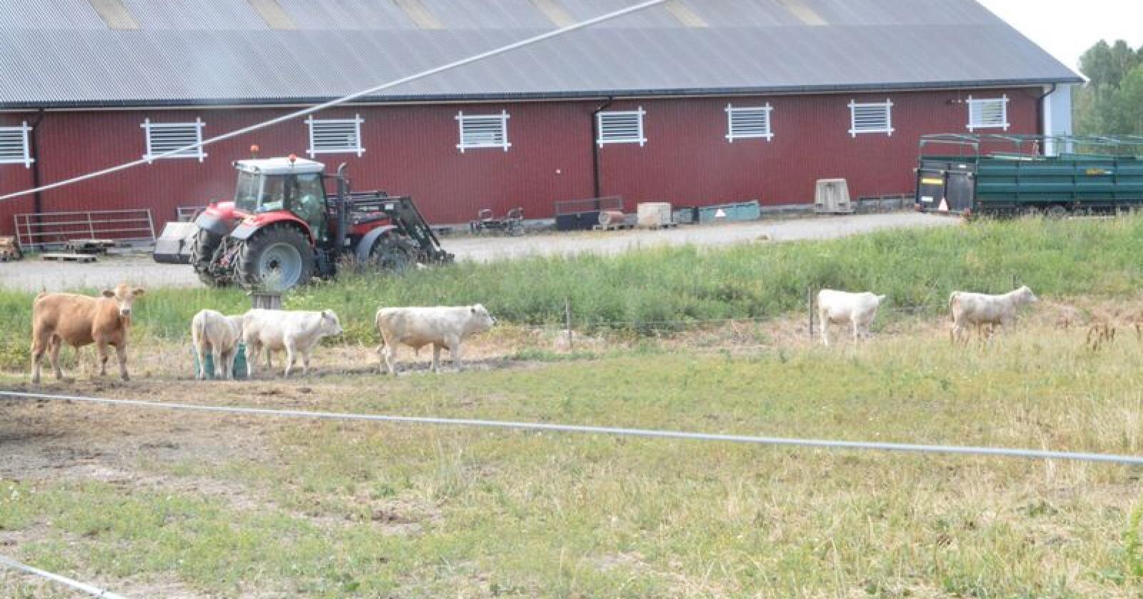 Mange bønder merker nå ekstremtørken på kroppen. Flere har meldt inn, eller vurderer å melde inn, dyr til slakt pga fôrmangel. Bildet er fra Aurskog-Høland. Foto: Anders Sandbu