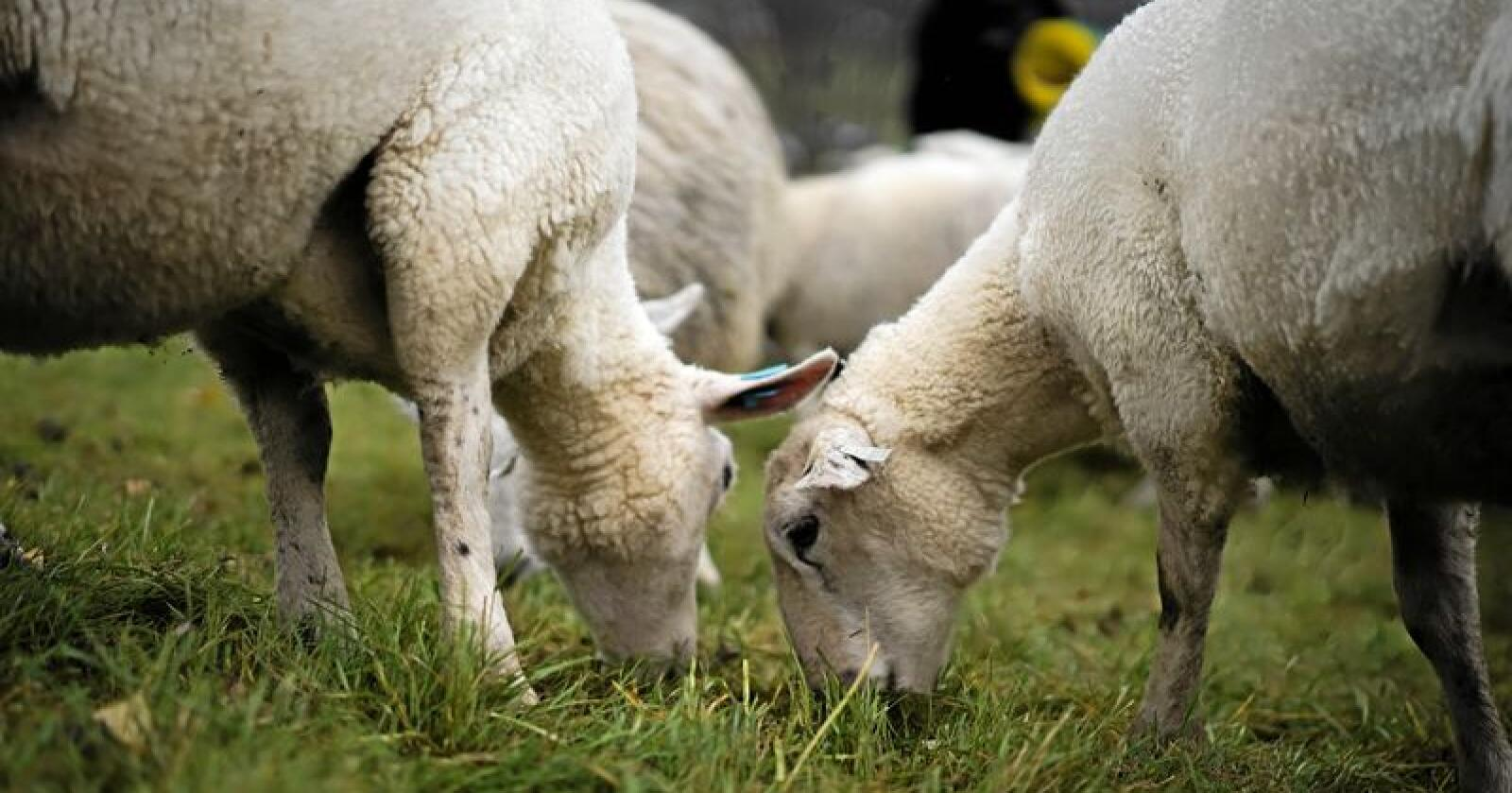 Mædi kan ikke overføres til mennesker, men er svært smertefull for dyrene. Illustrasjonsfoto: Benjamin Hernes Vogl