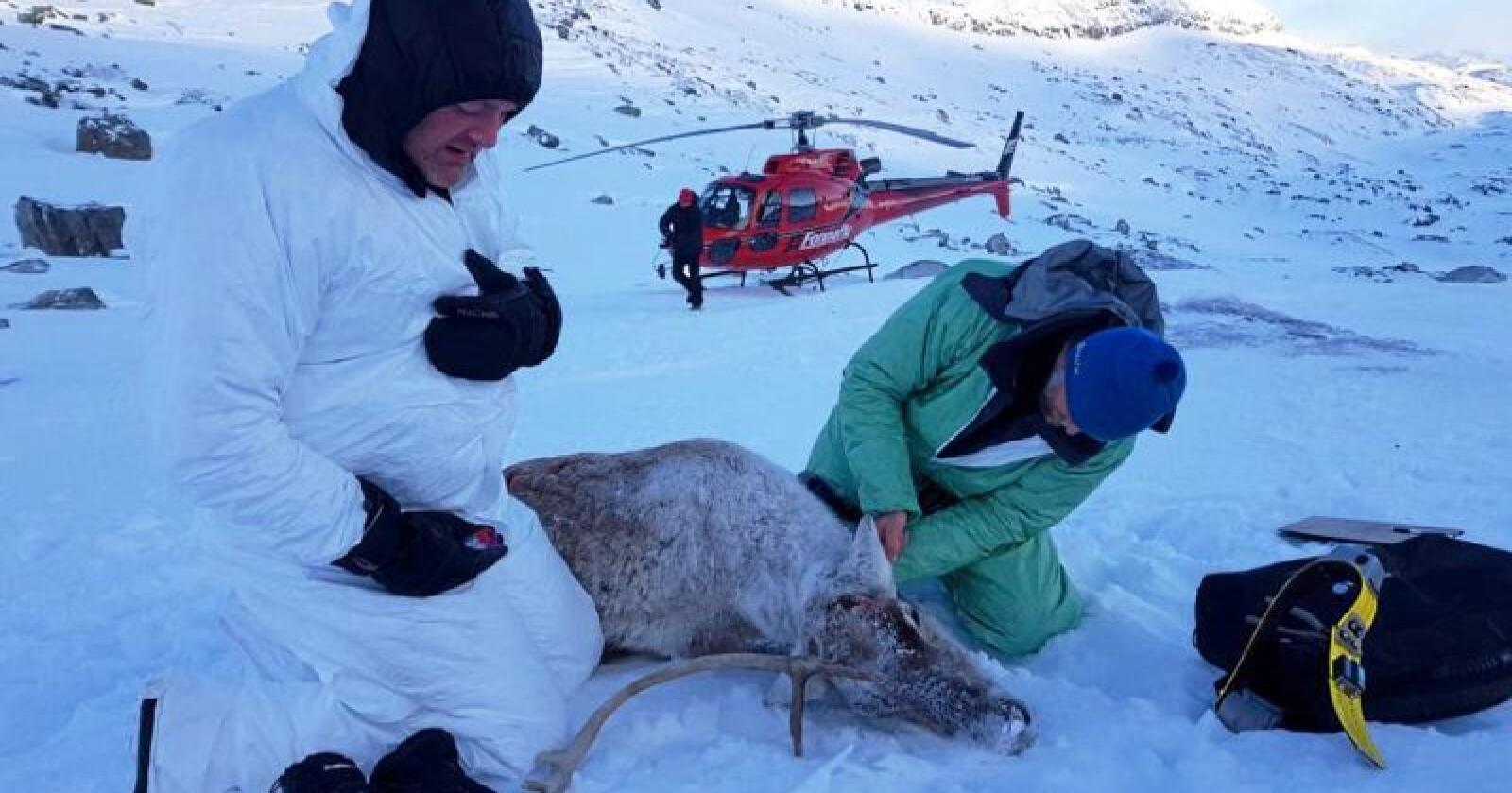 Klimaproblem: Det skapte stor debatt vinteren 2018 da det ble registrert isklumper på opptil flere kilo på GPS-senderne på noen av de merka reinsdyra i Nordfjellaområdet (bildet). Tettere oppfølging av merka dyr og  en ny type GPS-sendere skal forebygge slike hendelser i framtida. Foto: SNO
