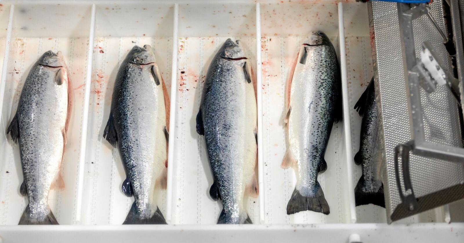Bedrifter som driver innen mat- og sjømatindustri må være spesielt oppmerksomme når britene går ut av EU. Foto: Gorm Kallestad / NTB scanpix