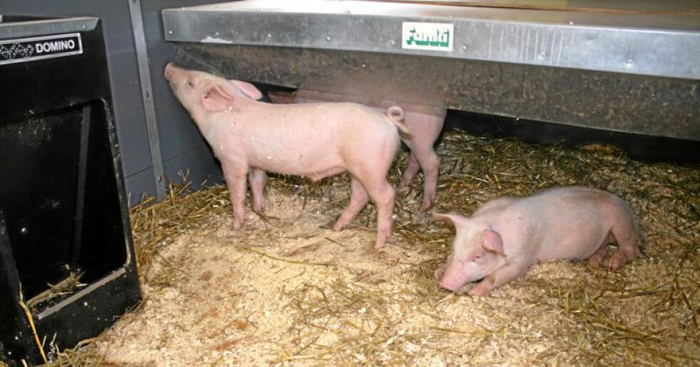 Marknadsbalanse: Kraftig nedgang i produksjonen av svinekjøtt får Nortura til å varsle prisoppgang frå 1. juli. Foto: Bjarne Bekkeheien Aase