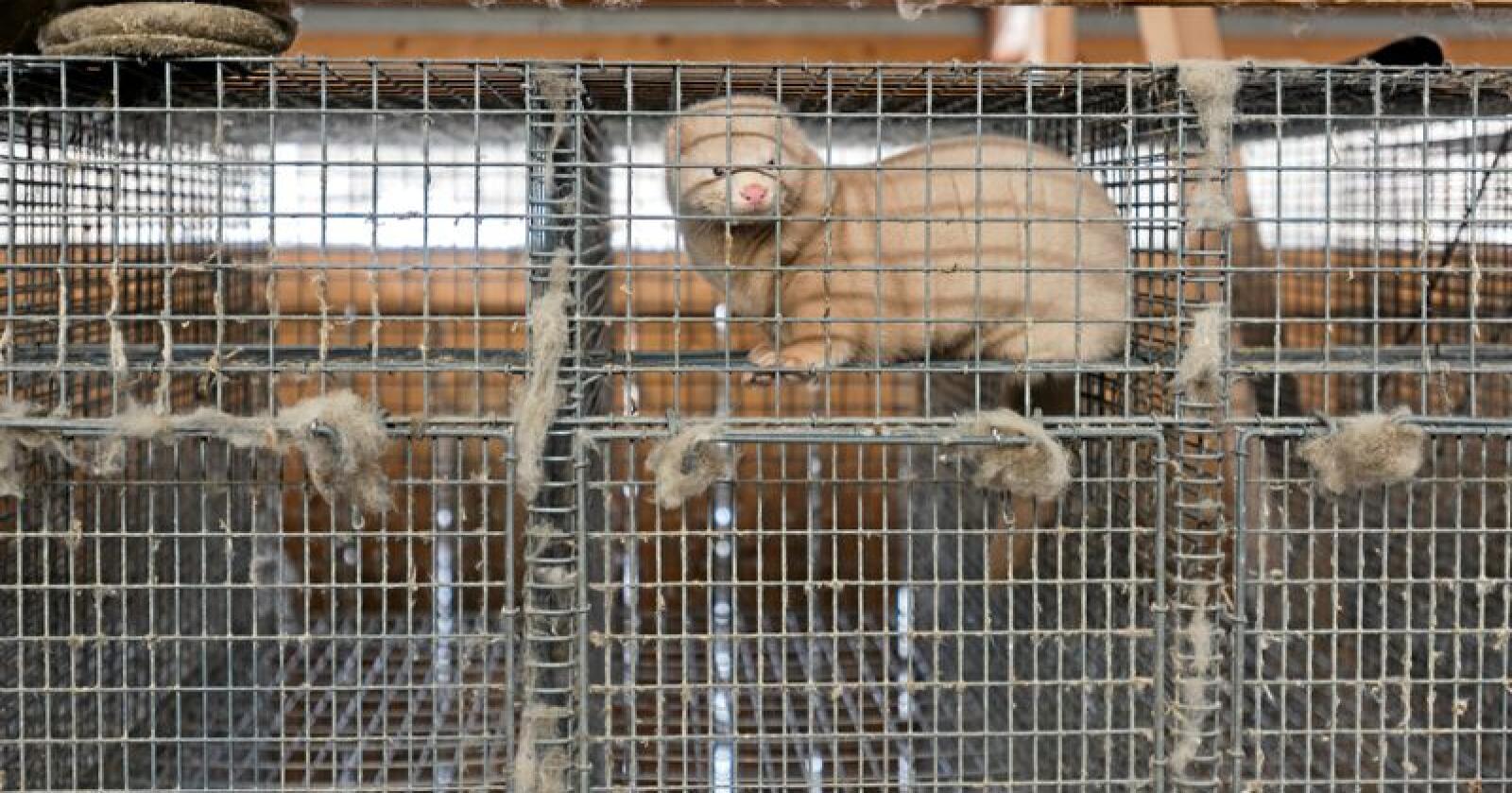 En rekke av landets ordførere oppfordrer til en fortsatt bærekraftig framtid for pelsdyrnæringen i Norge. Illustrasjonsfoto: Håvard Zeiner