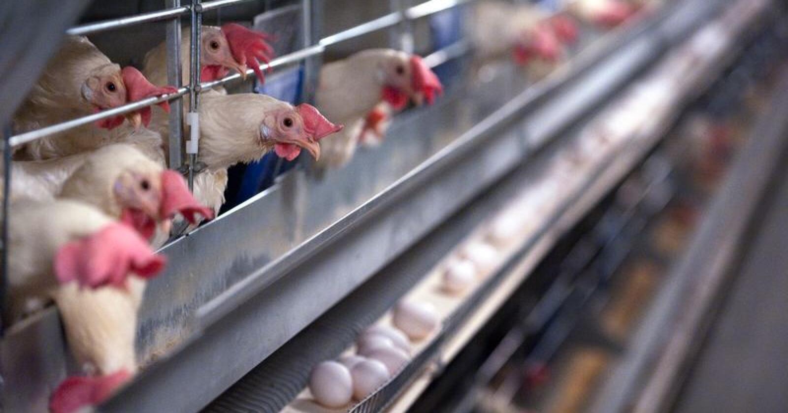Færre og færre: I 2012 blei bur som dette, såkalla miljøbur, den lovlege standarden for burhøner. Prognosane til Nortura viser at ein vil gå frå om lag 36 prosent miljøinnreidd eggproduksjon til 10 prosent. Foto: Marit Hommedal / NTB scanpix