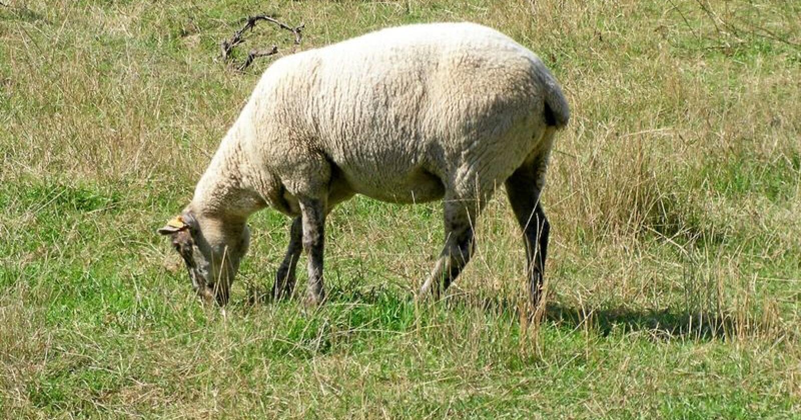 Franske sauebønder har opplevd en stor økning i tapene av tamdyr til ulv. Foto: Wikimedia Commons