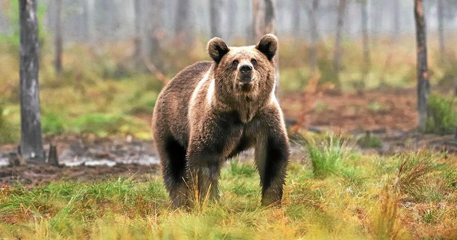 Spor og avføring fra bjørn kan være med å kartlegge hvor mange det finnes av arten i Norge. Foto: Erik Mandre / Mostphotos