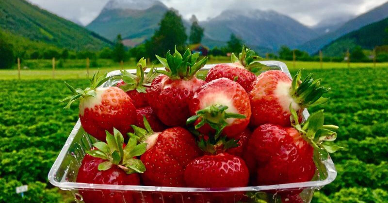 Det er slik vi helst vil ha det: Friske jordbær – som raude juvelar rett ut av åkeren. Foto: Audun Skjervøy