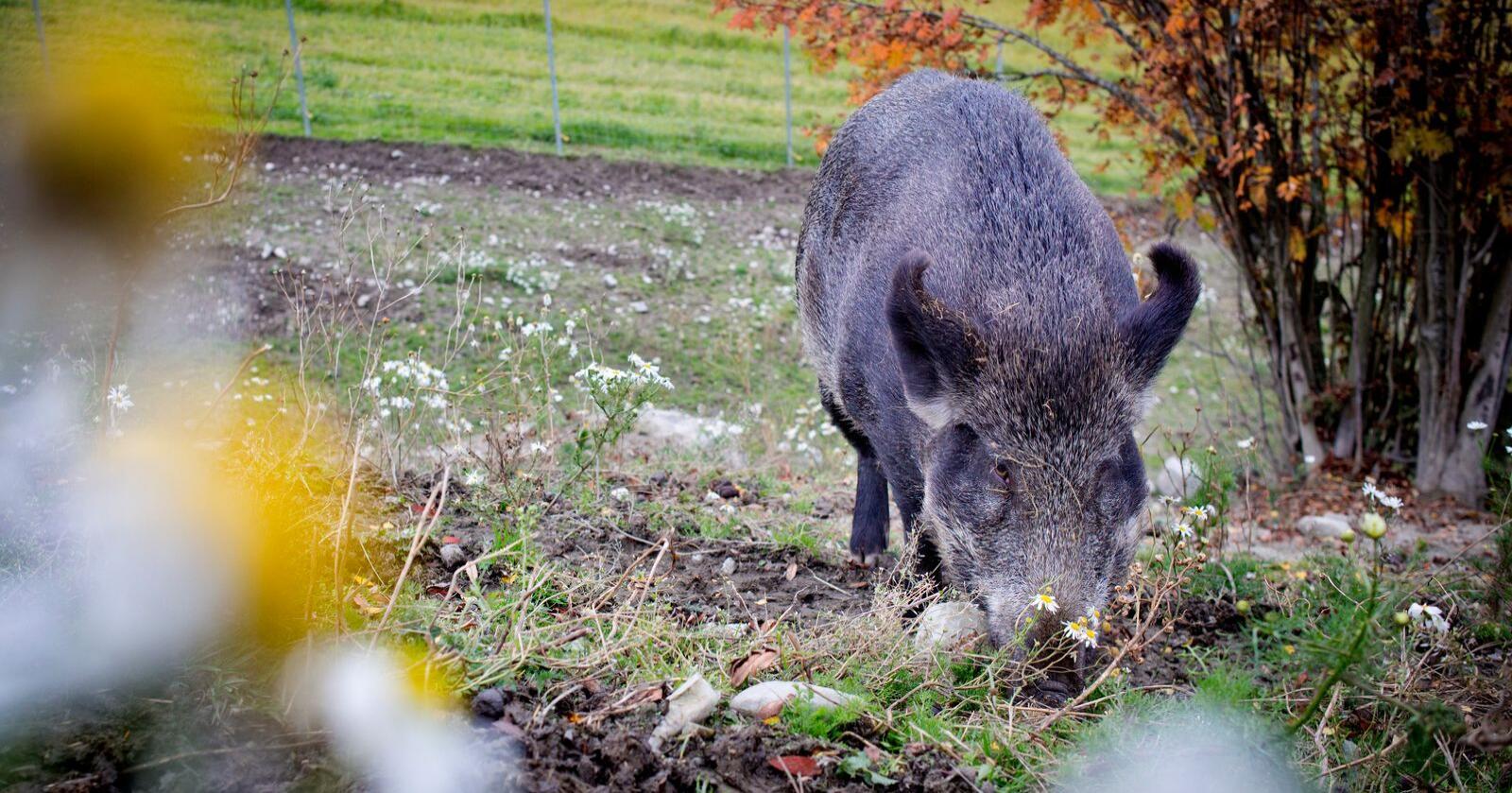 Villsvinfeller skal settes ut ved Glomma i sommer. Foto: Kyrre Lien / NTB scanpix