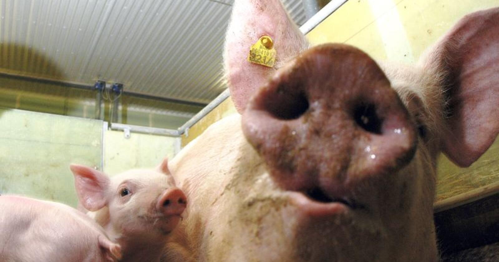Bedringen i svinemarkedet fortsetter. Foto: Marianne Østby