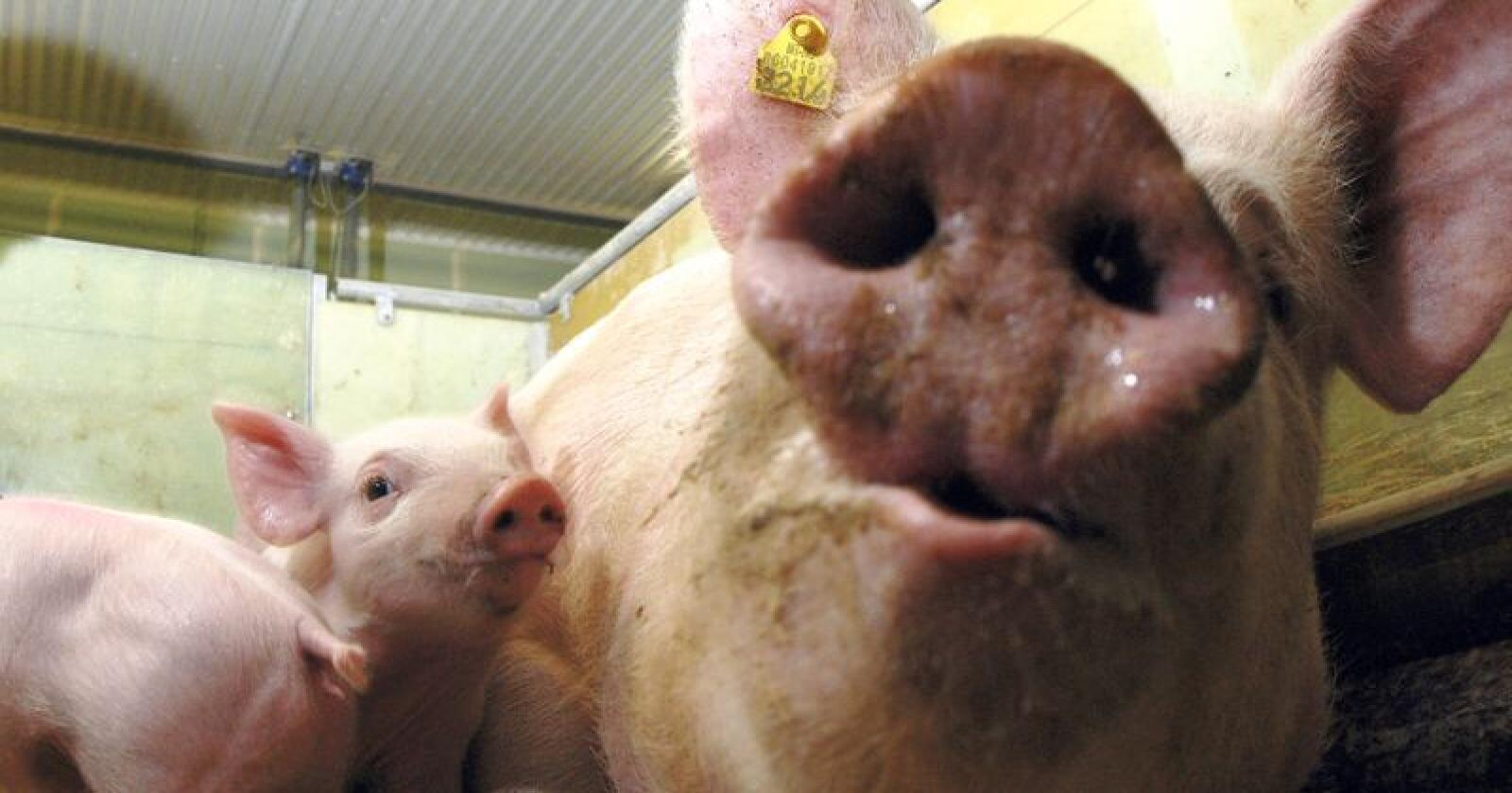 Torsdag er det duket for en ny film om svineindustrien - denne gang om ulike forhold som er tillatt. (Arkivfoto: Bondebladet)