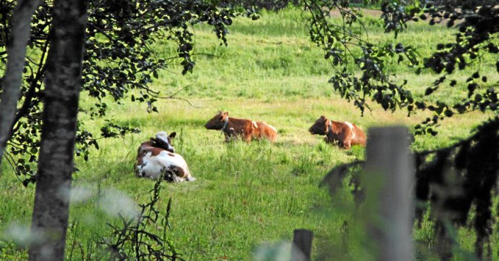 Brytes: 22 år etter at mosjonskravet ble innført skulle en tro at alle dyr som loven gjelder for får komme ut, men hver sommer avdekkes brudd på kravet. Foto: Lars Bilit Hagen