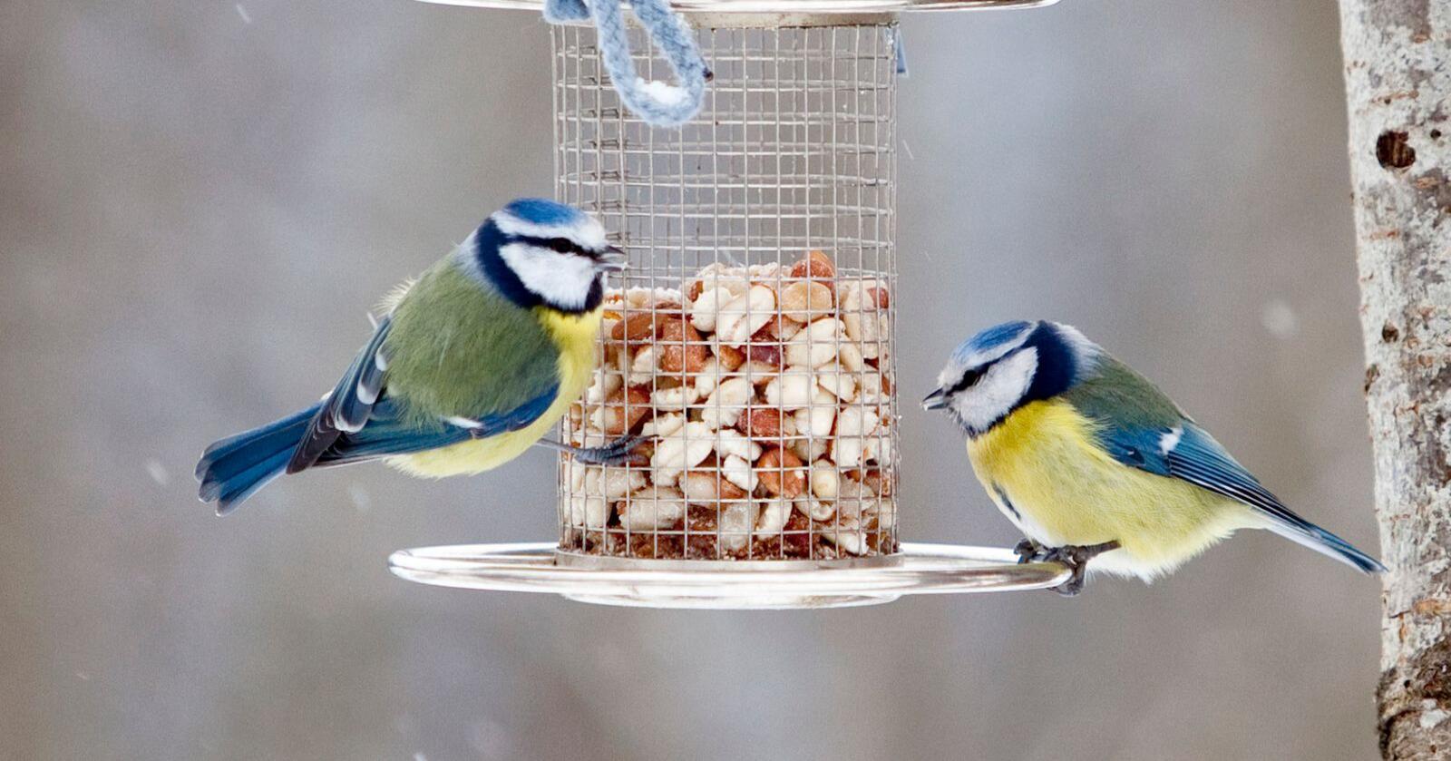 Mater du fuglene regelmessig, bør du fortsette med det på tross av fugleinfluensaen. Foto: Paul Kleiven / Scanpix