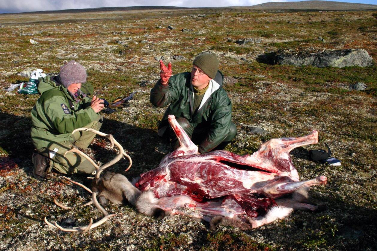 Hele villreinstammen i Nordfjella på 2.200 dyr skal uttryddes. Bildet er fra Hardangervidda. Foto: Kjell Herskedal / SCANPIX