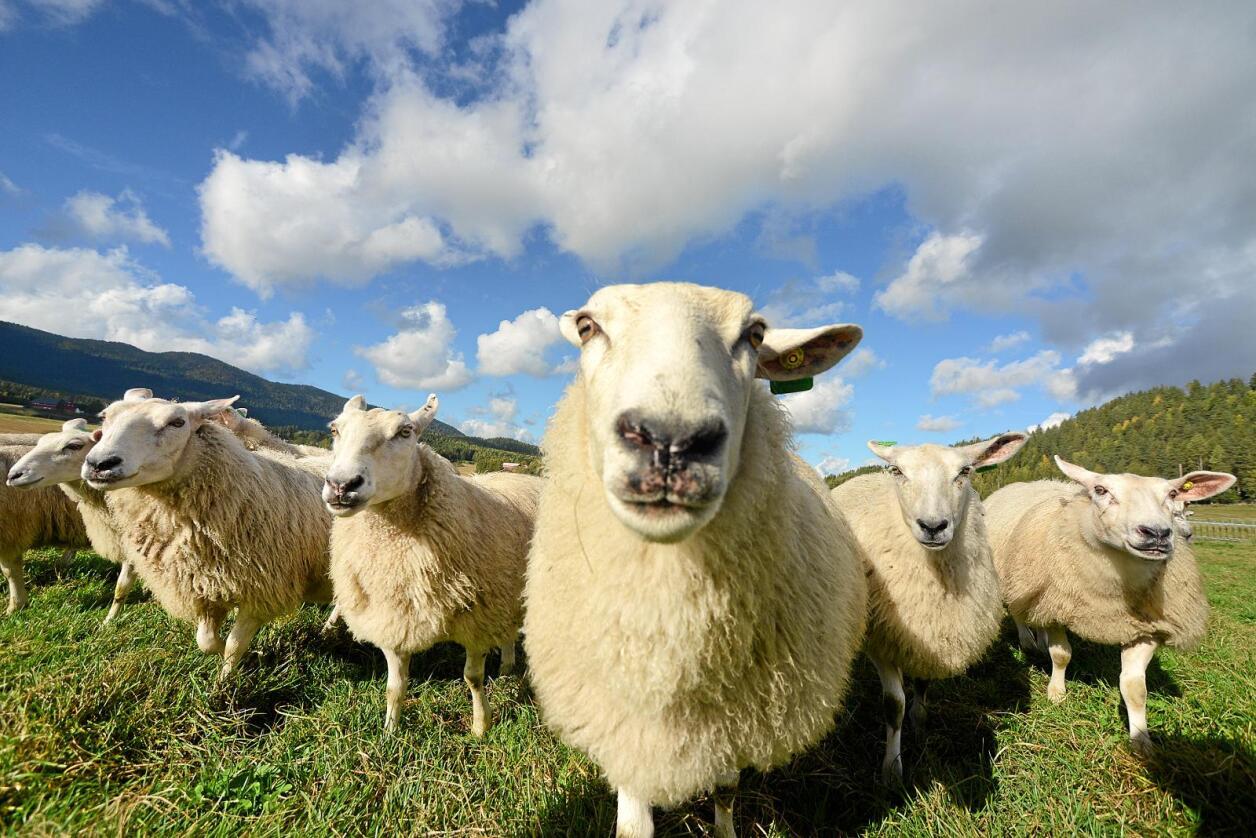 Rovdyr er den største enkeltårsaken til tap av sau i utmark, skriver kronikkforfatteren. Foto: Siri Juell Rasmussen