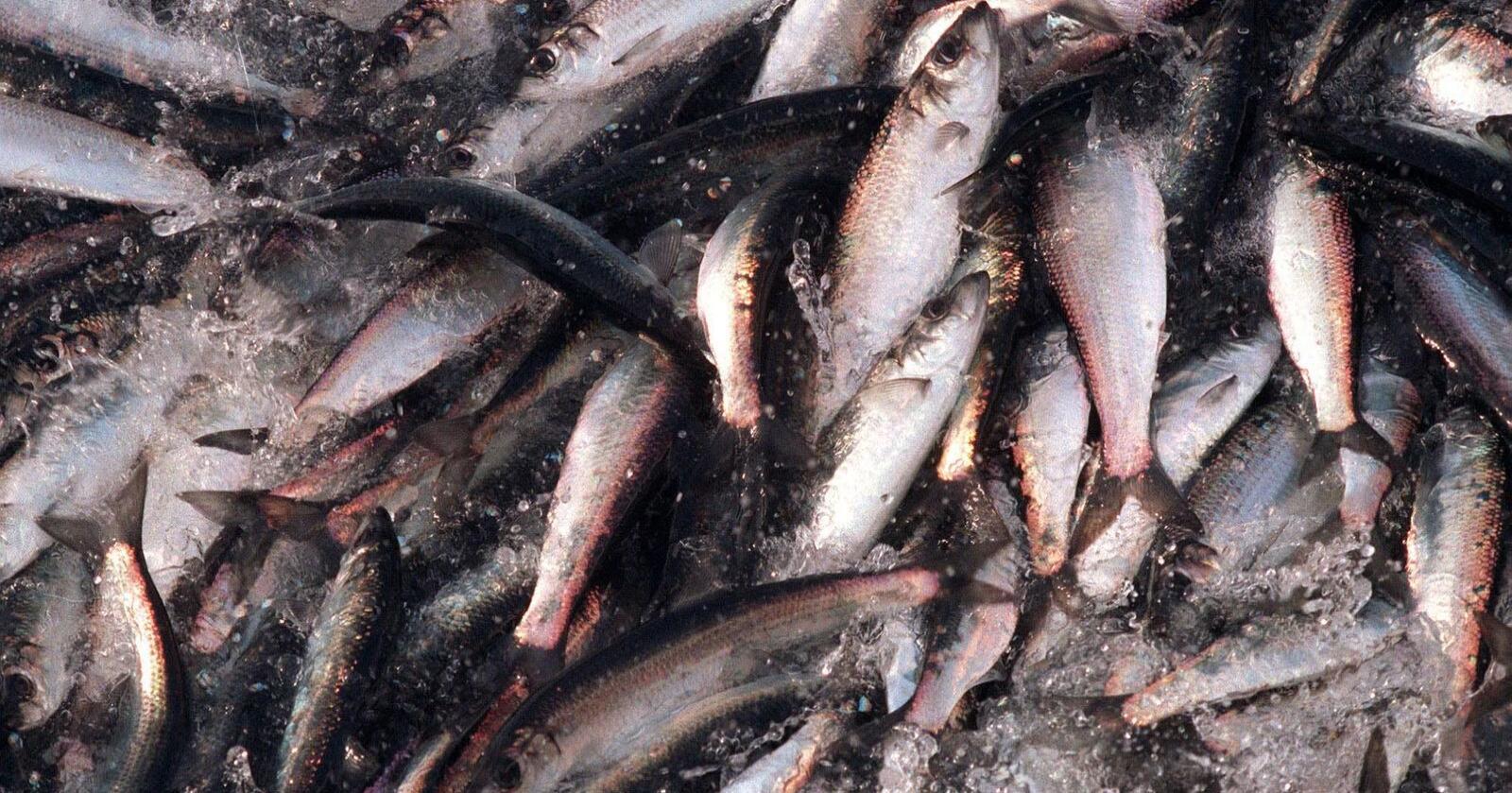 Fiskarar tener godt på at sushi er populært. På eitt år har verdien av silderogn firedobla seg. Illustrasjonsfoto: Lise Åserud / NTB scanpix / NPK
