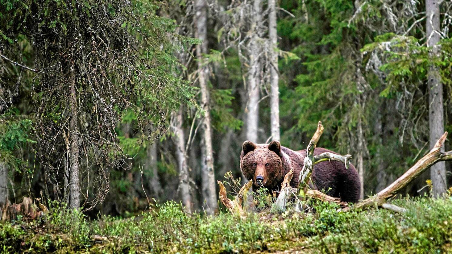 Bjørneprosjektet: Ny og spennende forskning fra Det skandinaviske bjørneprosjektet viser at bjørnen kan bidra til å løse mange av menneskets helseproblemer, skriver kronikkforfatteren.Foto: Per Harald Olsen/NTNU