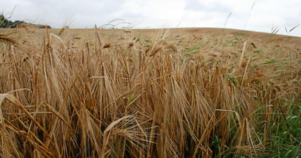 Kornbøndene kan bli vinnarar av årets jordbruksoppgjer. Foto: Bjarne Bekkeheien Aase