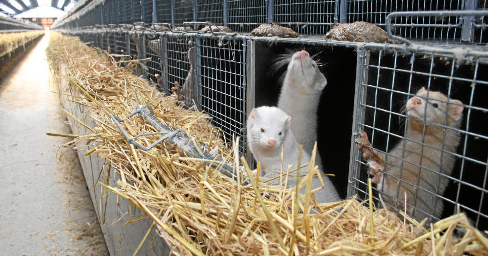 Flere minkfarmer i Nederland er sanert etter koronasmitte hos dyrene, og parlamentet har nå besluttet å fremskynde avviklingen av pelsdyrhold. Landbruks- og matminister Olaug Bollestad vil ikke gjøre det samme i Norge. Bildet er fra en pelsfarm på Jæren. Foto: Bjarne Bekkeheien Aase.